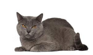 a plush coated chartreux cat lying down