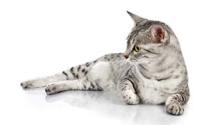 A silver spotted egyptian mau lying down