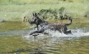 A healthy adult Picardy Sheepdog running through some water