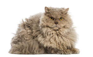 A Selkirk Rex with lovely yellow eyes