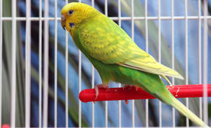 A lovely Budgerigar perched inside a cage