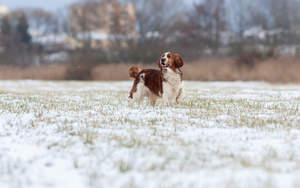 A beautiful, brown Welsh Springer Spaniel enjoying the harsh weather