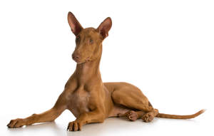 A gorgeous male Pharaoh Hound lying down with his beautiful ears perked