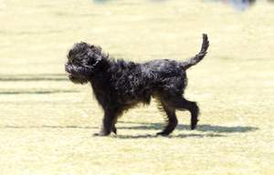 A scruffy little affenpinscher enjoying a walk