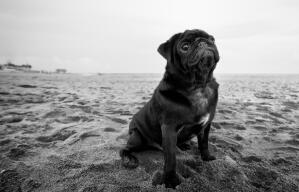 A black and white Pug sitting neatly on the sand, waiting for a command