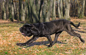 A Neapolitan Mastiff's incredibly long and strong body