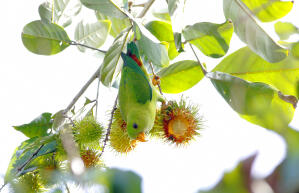 A beautiful Vernal Hanging Parrot hanging from a fruit tree