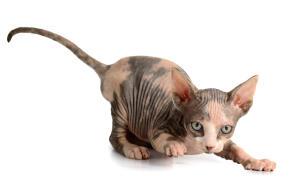 A playful Sphynx kitten