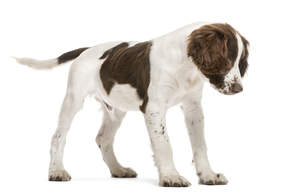 An energetic English Springer Spaniel puppy with a really soft coat