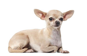 A cute little chihuahua lying down