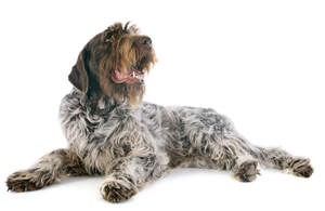A resting adult Wire Haired Pointing Griffon showing off its scruffy beard