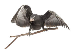 A Greater Vasa Parrot's wonderful, dark grey feathers
