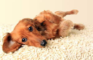 A healthy, young Dachshund with an incredibly soft coat