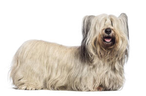 A Skye Terrier with an incredible long, white coat