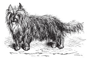A drawing of a Skye Terrier