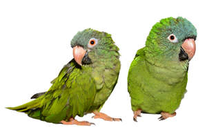 Two lovely Blue Crowned Parakeets standing together
