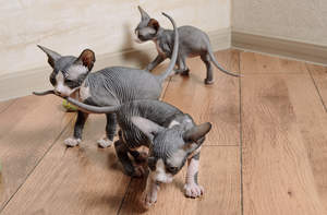 Sphynx kittens happily playing