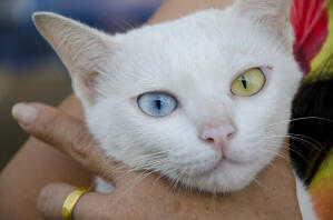 A pretty Khao Manee cat with one yellow eye and one blue eye