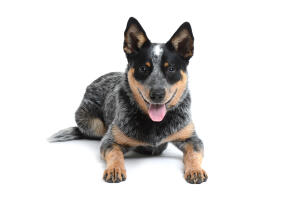 A young dark furred Australian Cattle Dog with a lovely thick coat