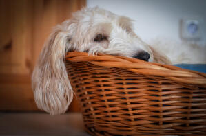 a Basset Griffon Vendeen Petit snoozing in his basket