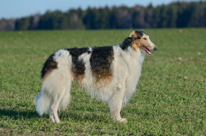 An adult Borzoi with a long, wrinkly coat, standing tall