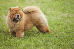 A healthy adult Chow Chow, showing off it's beautiful, bushy tail