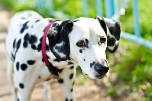A Dalmatian's lovely, soft white coat and black ears