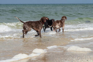 Some German short haired pointers on the beach