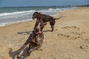 Two German short haired pointers enjoying the freedom of the beach