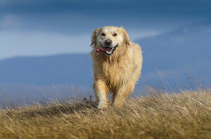 A wet Golden Retriever enjoying some exercise outside