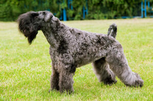 A Kerry Blue Terrier showing off it's beautiful thick, wooly coat