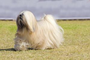 A healthy, adult Lhasa Apso, showing off it's beautiful, long, well groomed coat