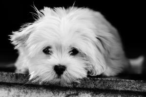 A young Lhasa Apso puppy with a wonderful, long, white coat