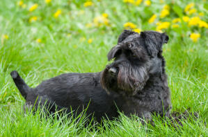 A beautiful, black Miniature Schnauzer lying in the grass