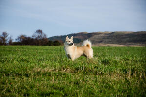 A Norwegian Buhund standing tall in the grass, showing off its big bushy tail