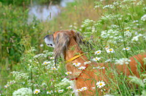 A Saluki poking it's head out of the long grass