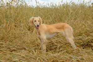 An adult Saluki showing off it's wonderful, soft coat and slender build