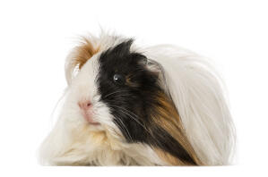 A close up of a Peruvian Guinea Pig's lovely little pink nose