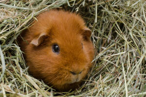 A beautiful little red Teddy Guinea Pig sitting in it's bedding