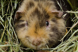 A close up of a Teddy Guinea Pig's wonderful soft fur