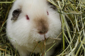 A white Teddy Guinea Pig with lovely little red eyes