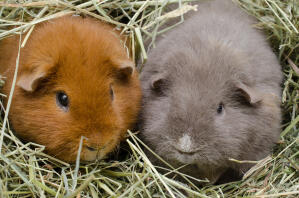 Two Teddy Guinea Pigs sitting together in their bedding