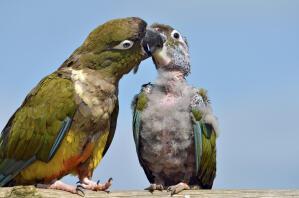 A wonderful, parent Burrowing Parakeet, feeding it's young