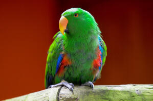 A Eclectus Parrot showing its lovely, red and green chest feathers