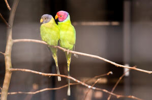 Two beautiful Plum Headed Parakeets perched together in a tree
