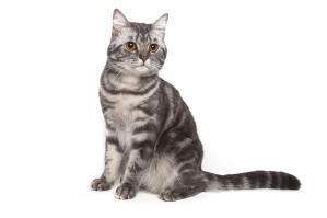 A beautiful american shorthiar cat with a marbled tabby coat