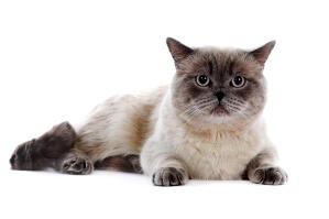 a british shorthair cat wth a brilliant colourpoint coat