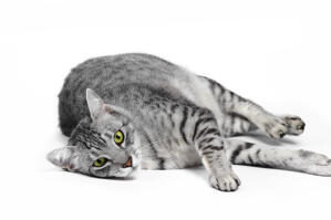 A silver spotted egyptian mau lying down for the camera