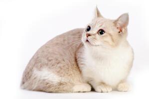A cute Munchkin cat lying