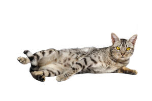 A grey variation of the Ocicat